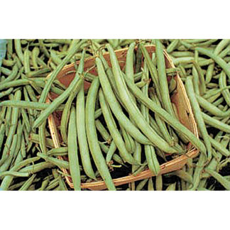 "Tendergreen Improved is a heat-tolerant snap bean with 6-7"" round and meaty, dark-green pods. Heavy, prolonged producer."