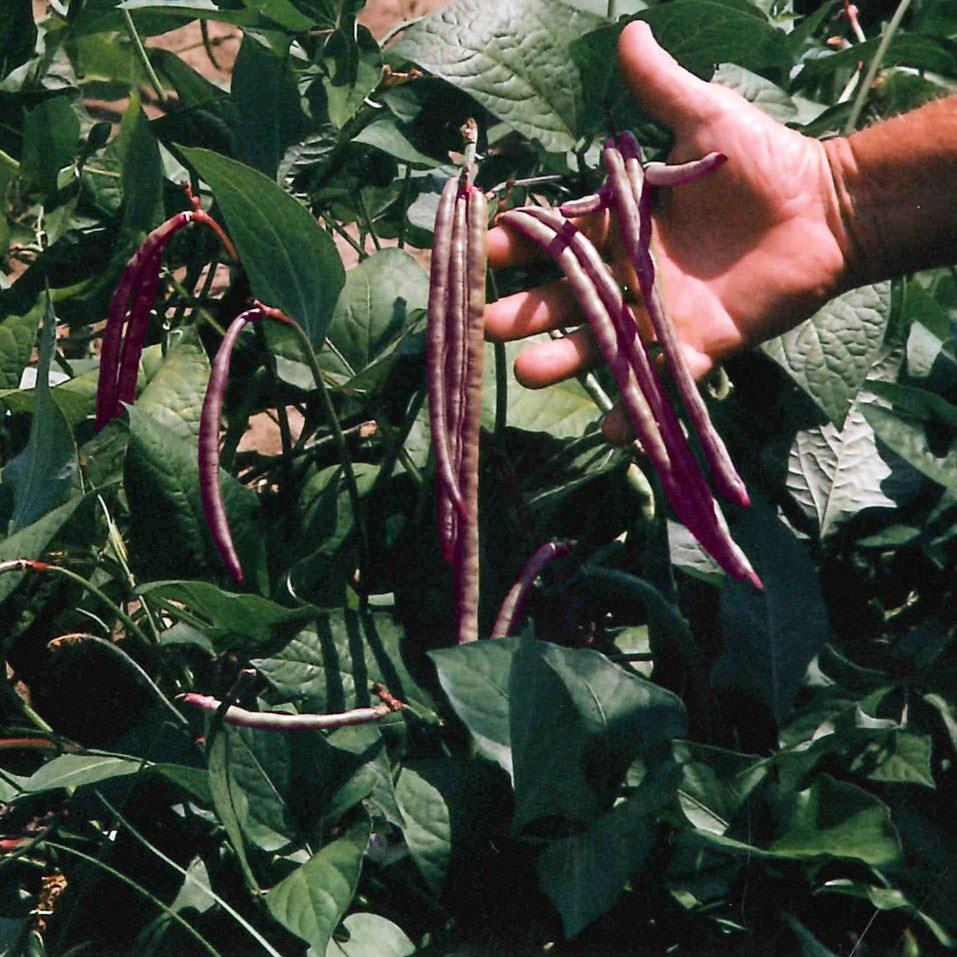 Top Pick Pinkeye Purple Hull Cowpea Seeds Ne Seed