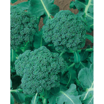 Waltham 29 Broccoli