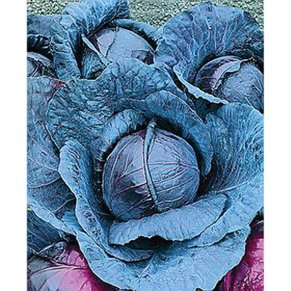 Red Express Red Cabbage