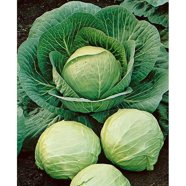 Early Round Dutch Cabbage Seeds Ne Seed
