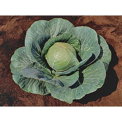 Stonehead F1 Hybrid Cabbage