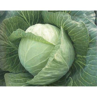 White Mist F1 Hybrid Cabbage