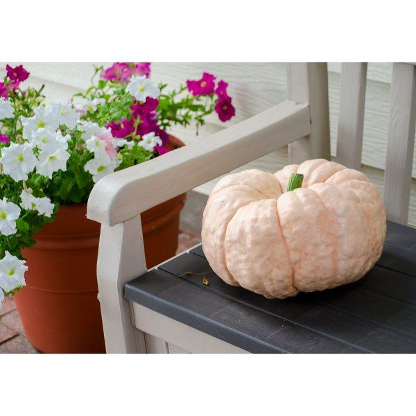 Porcelain Doll F1 Hybrid Pink Pumpkin