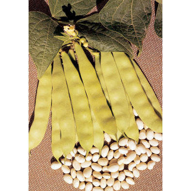Coco Bianco dry bean from our Italian Gourmet Seed Collection