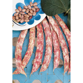 Lingua di Fuoco shelling/dry bean from our Italian Gourmet Seed Collection
