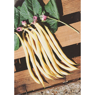 Rocquencourt bean from our Italian Gourmet Seed Collection