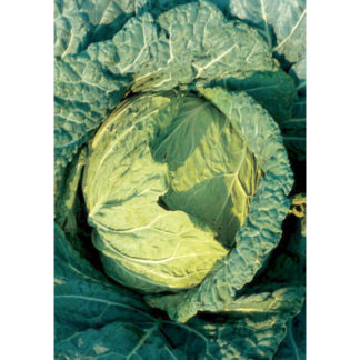 Di Napoli Tardivo Italian Cabbage Seeds from our Italian Gourmet Seed Collection