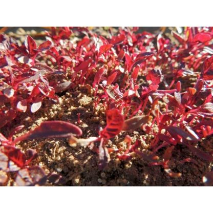 Garnet Red Amaranth Seeds Microgreens