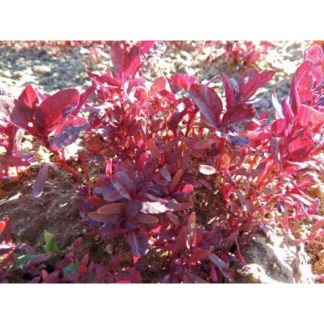 Garnet Red Amaranth Seeds