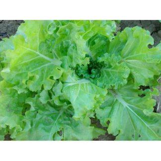 Tokyo Bekana Chinese Cabbage Seeds