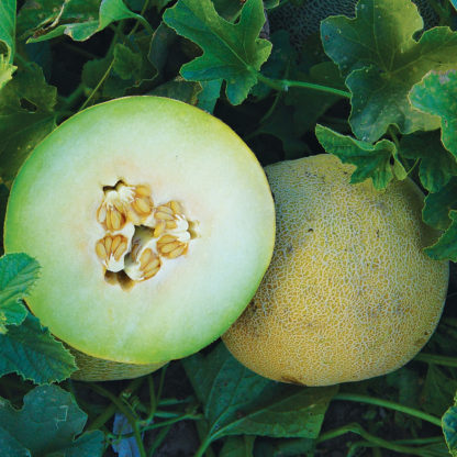 Sigal F1 Hybrid Cantaloupe