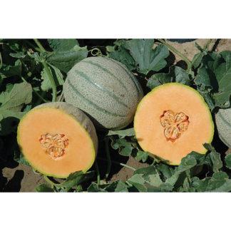Tasty Sherbet F1 Hybrid Cantaloupe
