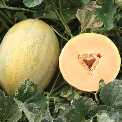 Fortune F1 Hybrid Hami Type Melon