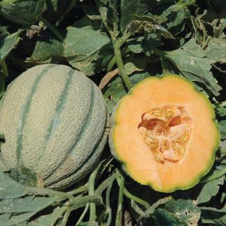 Orange Sherbet PMT F1 Hybrid Cantaloupe