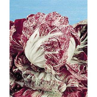 Red Verona Radicchio Chicory