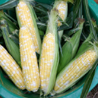 Butter and Sugar Sweet Corn Seeds