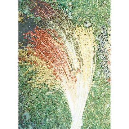 Mixed Colors Broom Corn Ornamental Corn