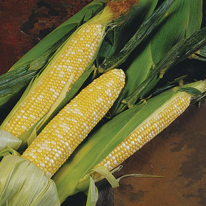 Delectable Sugary Enhancer Bicolor Corn
