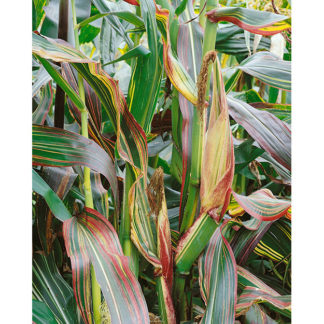 Japonica Striped Maize Ornamental Corn