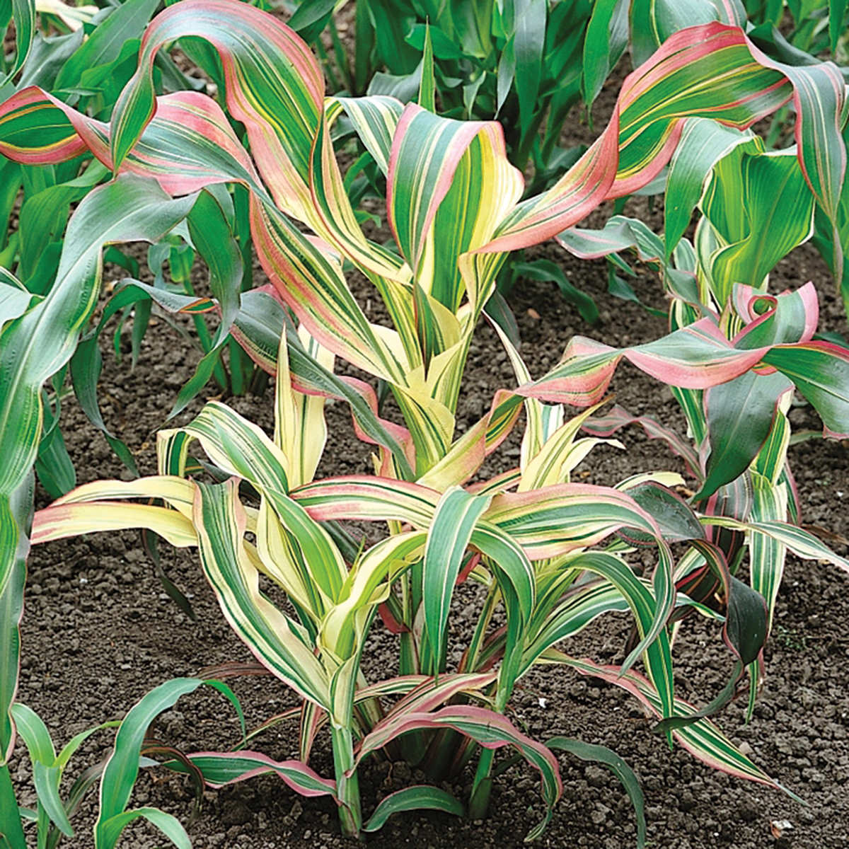 Japonica Striped Maize Ornamental Corn Seeds Ne Seed