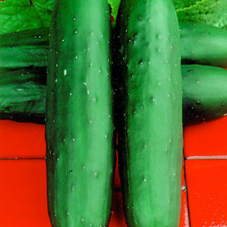Dasher II F1 Hybrid Cucumber Seeds