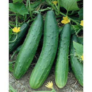 Garden Sweet F1 Hybrid Burpless Cucumber