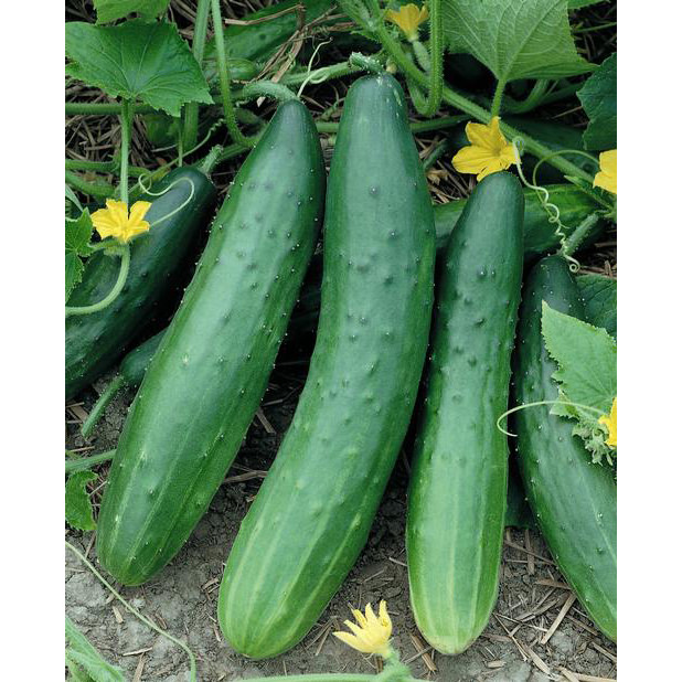 Garden Sweet F1 Hybrid Cucumber Seeds Ne Seed