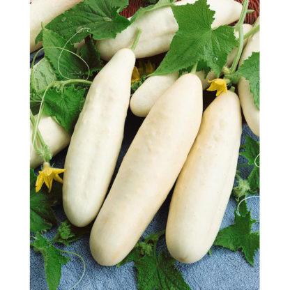 White Wonder Pickling Cucumber