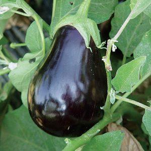 31322-Campana-Negra-Eggplant