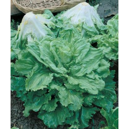 Batavian Full Heart Chicory Endive