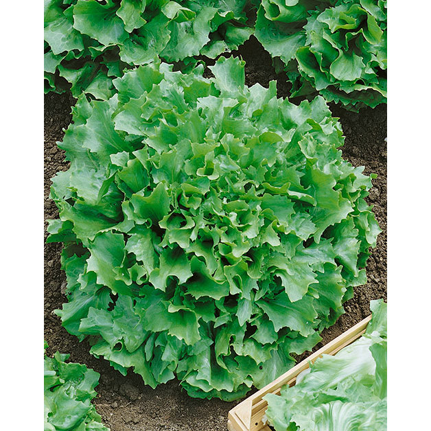 Everything about Curly Endive Lettuce Seeds