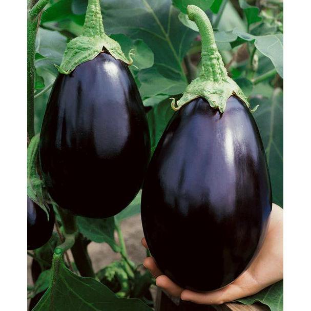 Black Beauty Eggplant Seeds Ne Seed