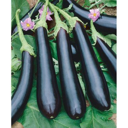 Long Purple Italian Type Heirloom Eggplant
