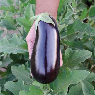 Rhapsody F1 Hybrid Eggplant