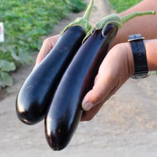 Tucci F1 Hybrid Eggplant