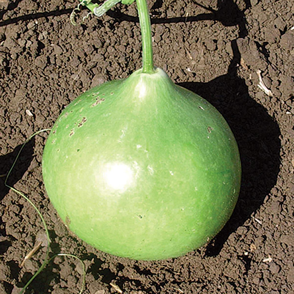 bushel basket gourd seeds ne seed