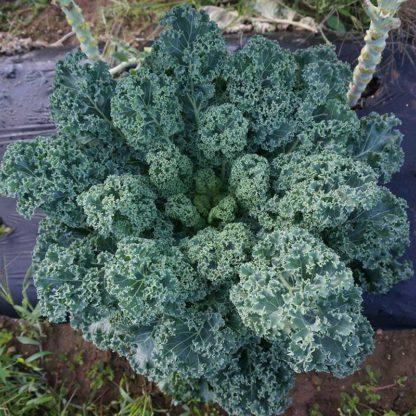 Dwarf Blue Curled Vates Kales Seed