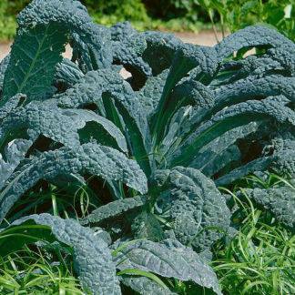 Lacinato Kale, aka Dinosaur Kale