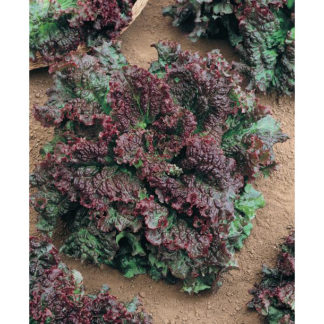 Gabriella Triple Red Leaf Lettuce