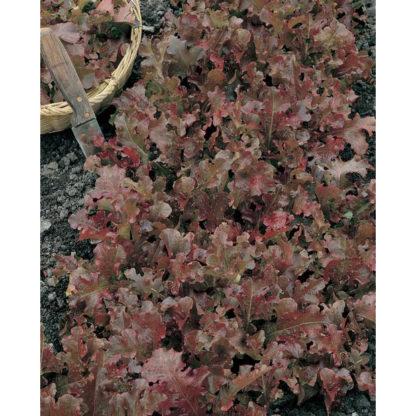 Danyelle Red Oakleaf Lettuce