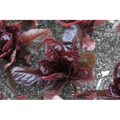Rouge De Hiver Lettuce
