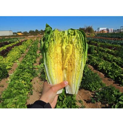 Parris Island Cos Lettuce Seeds