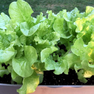 Simpson Elite Lettuce Seeds