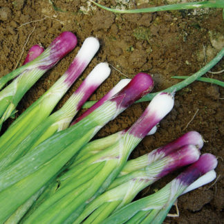 Red Bunching F1 Hybrid Bunching Scallion