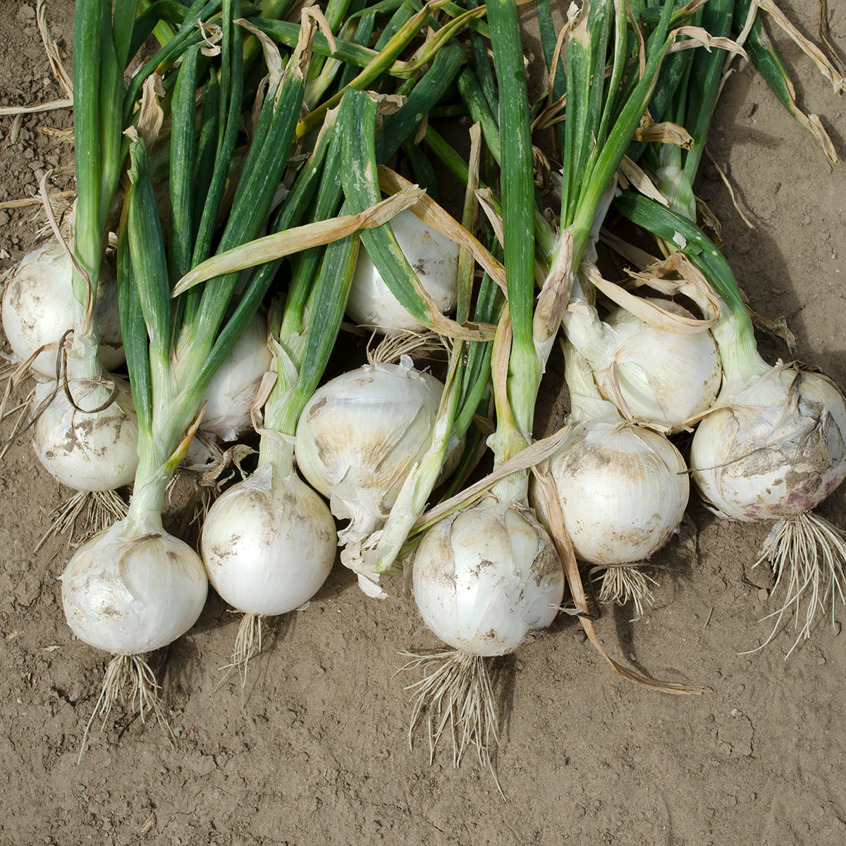 Onion Red Wethersfield    1,000 seeds  Need More Ask