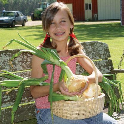 Miss Megan F1 Hybrid Onion
