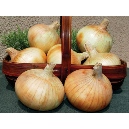 Pumba F1 Hybrid Onion