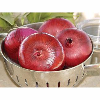 Pinot Rouge F1 Hybrid Onion
