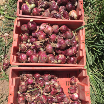 Chianti F1 Hybrid Onion Seeds